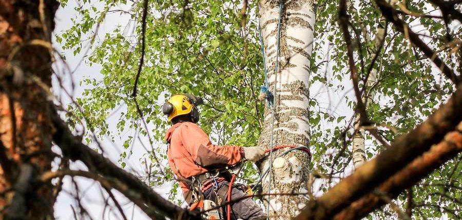 Expert arborist inspecting a tree